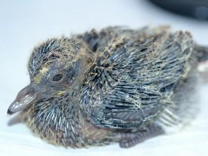 Baby Dove Day 3
