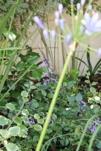 "Agapanthus & ""Mona Lavender""."