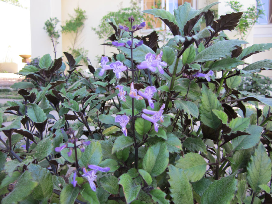 plectranthus mona lavender flowering by the gardening blog. Black Bedroom Furniture Sets. Home Design Ideas