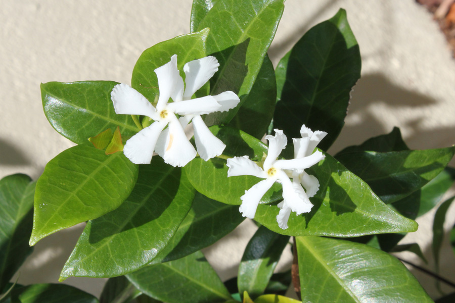 Picture of Live Star Jasmine aka Trach. jasminoides Shrubs Plant Fit 1 Gallon Pot