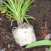 Root bound Agapanthus