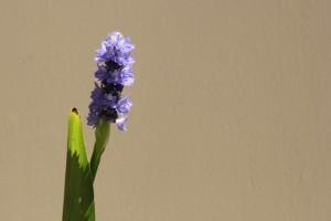 Pond Plant flowers!