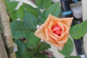 My rose flowers