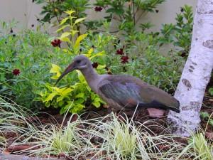 Hadeda in my garden