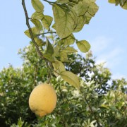 Clean lemon tree