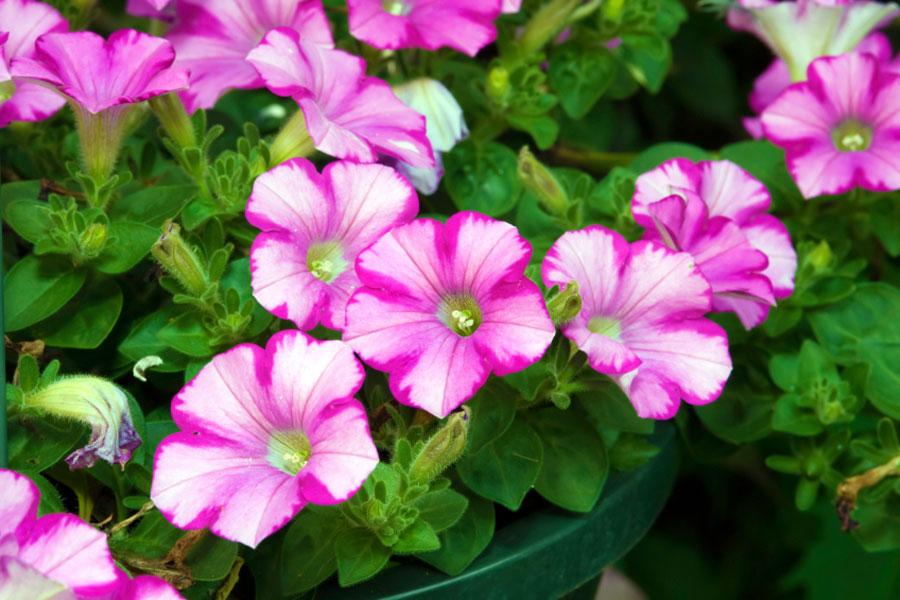 Image Gallery Petunia Plants