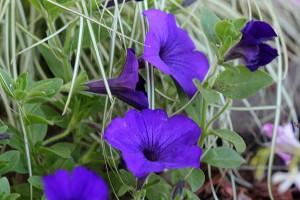 Petunia photographs
