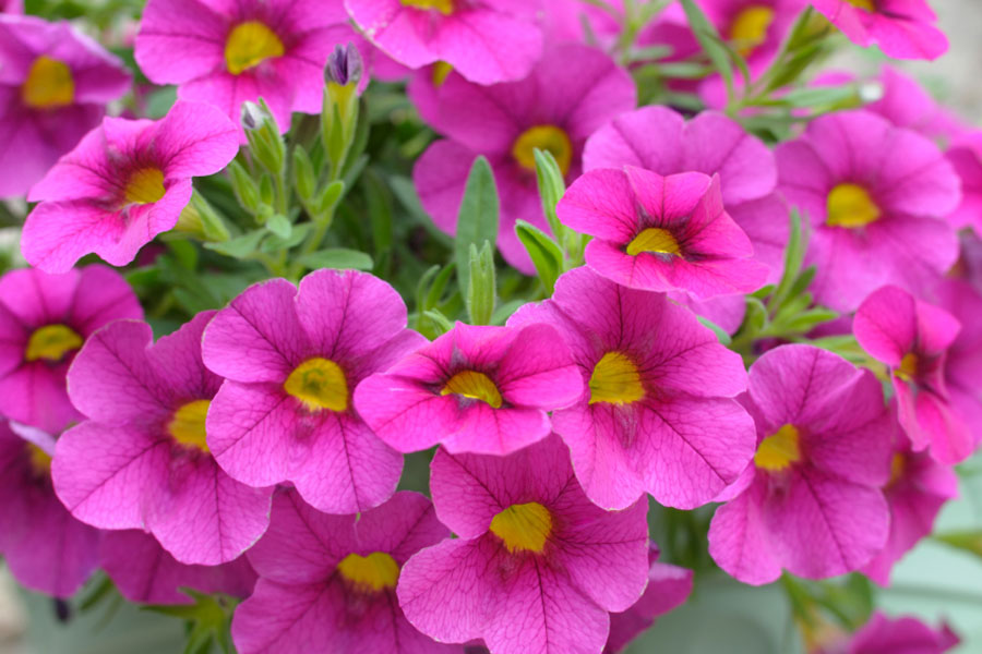 petunias by the gardening blog, Natural flower