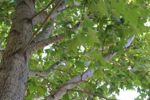 My Sweetgum Tree