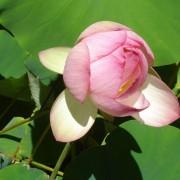 Water Lily at Stellenbosch Botanical Garden
