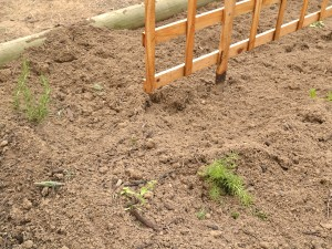 Destruction in veggie patch