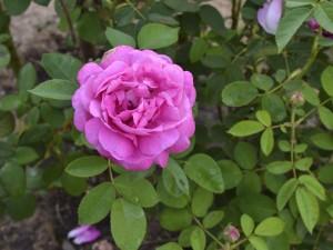 Auntie Hena Rose