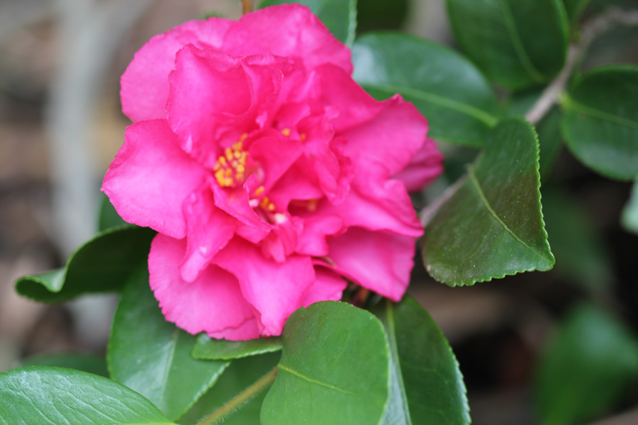 first camellia bloom of the season by the gardening blog. Black Bedroom Furniture Sets. Home Design Ideas