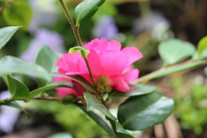 Second Camellia