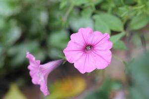 Still flowering, the Petunias