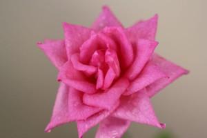 Flowering Miniature Rose