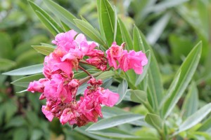 Neighbours Oleander (not liked!)