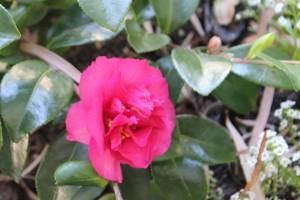 First Camellias