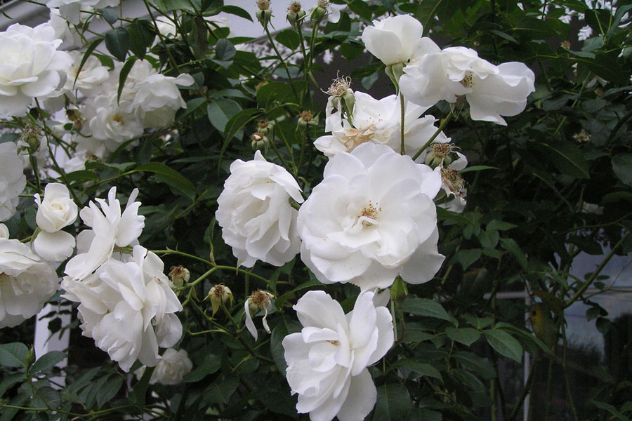 Iceberg rose by the gardening blog for Rosa iceberg