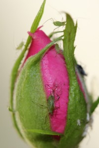 Aphids on rose