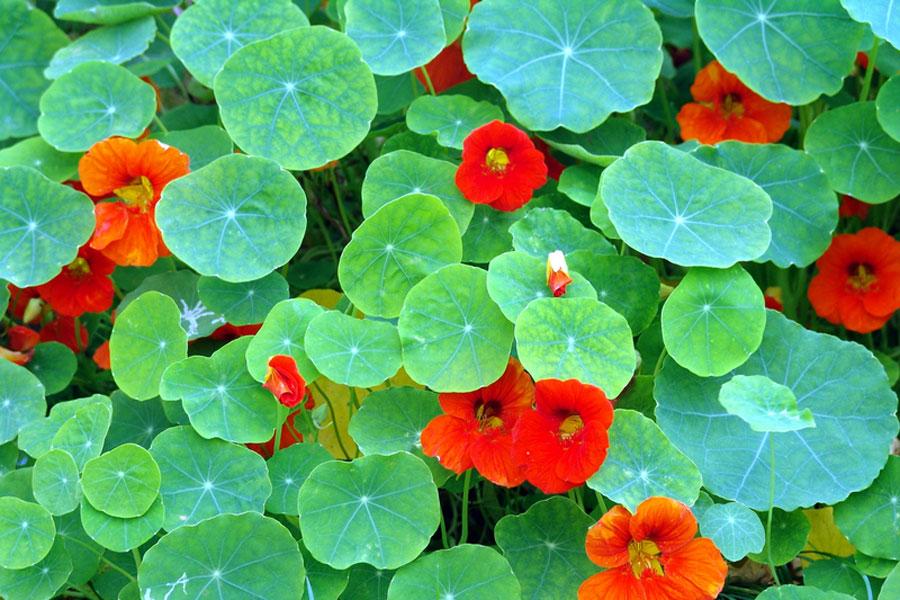Nasturtium by The Gardening Blog