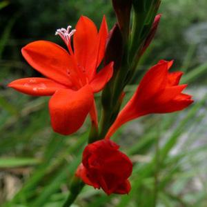 Watsonia hysterantha