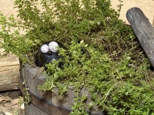 Thyme bucket