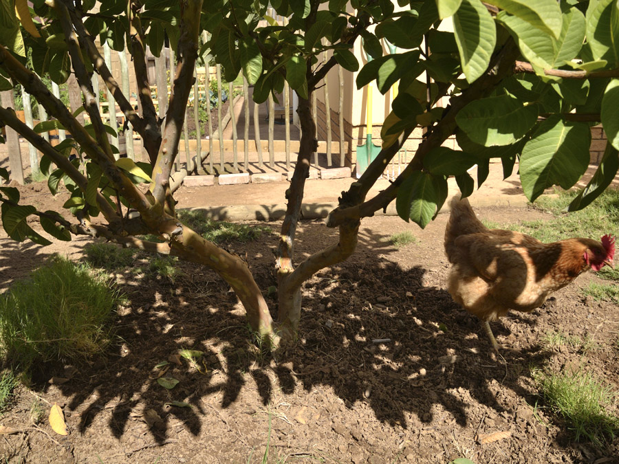 how to make my frangipani tree grow quicker
