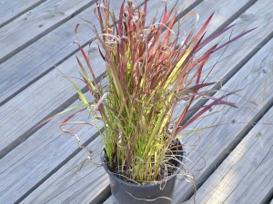 Imperata Cylindrica-Red Barron