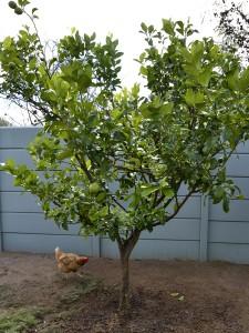 Healthy Lemon tree