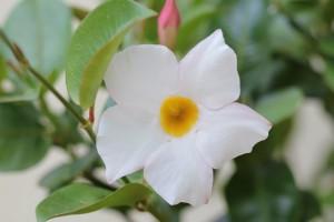 Mandevilla Splenens White