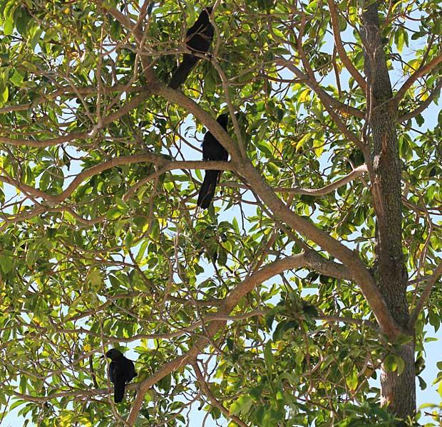 In the Frangipani Tree