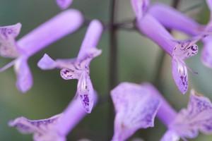 Mona Lavender