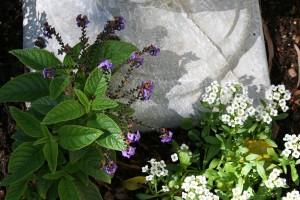 Heliotropium and Alyssum
