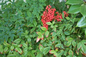Nandina berries & leaves
