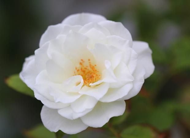 Iceberg Rose in Bloom