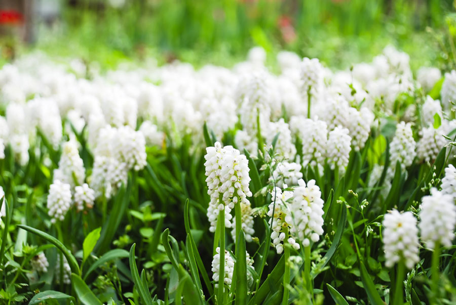 Muscari by the gardening blog muscari mightylinksfo