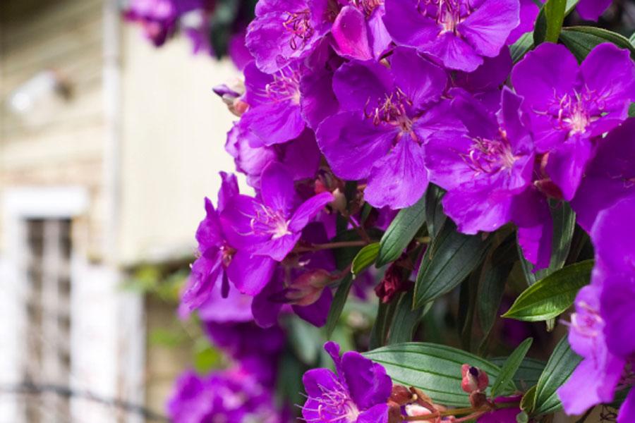 Tibouchina by the gardening blog for Purple flowering shrubs identification