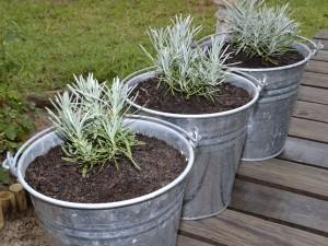 Lavender buckets