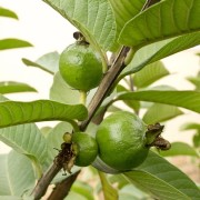 New Guavas