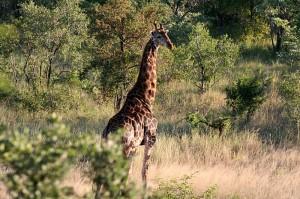Giraffe in Kruger