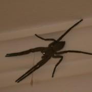Scarey Spider