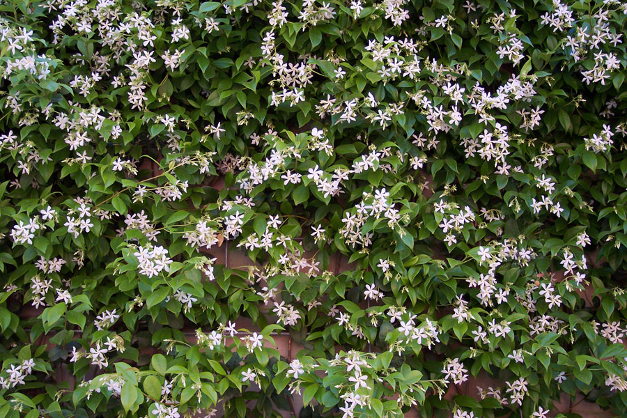 trachelospermum jasminoides by the gardening blog. Black Bedroom Furniture Sets. Home Design Ideas