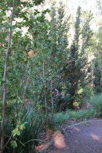 Camellia Shrubs