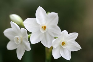 Narcissus Paper Whites