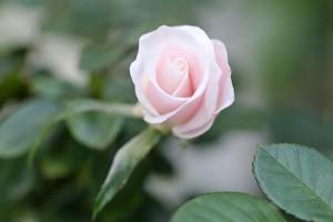 Rosa 'Iceberg' blooming again