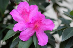 Maroon Azaleas blooming