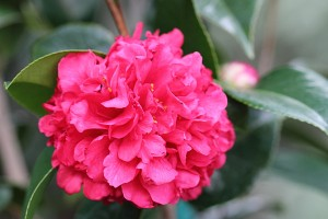 Red Camellias blooming
