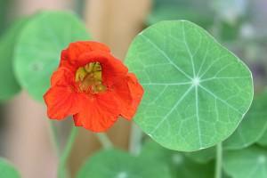 First Nasturtium bloom