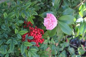 Camellias and Nandina berries